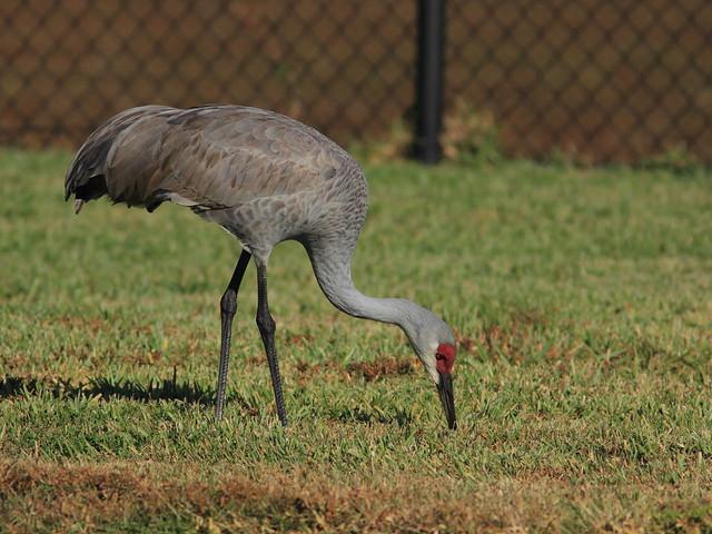 Sandhill Crane 3-20120108