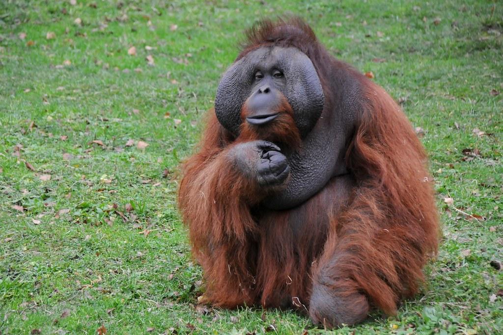 analysis of the orangutan pongo pygmaeus Seasonal movements in the sumatran orangutan  (pongo pygmaeus pygmaeus) and sumatra (pongo pygmaeus  a programme for the analysis of sociometric matrices and .