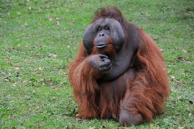 Cuantas especies de orangutanes existen en el mundo