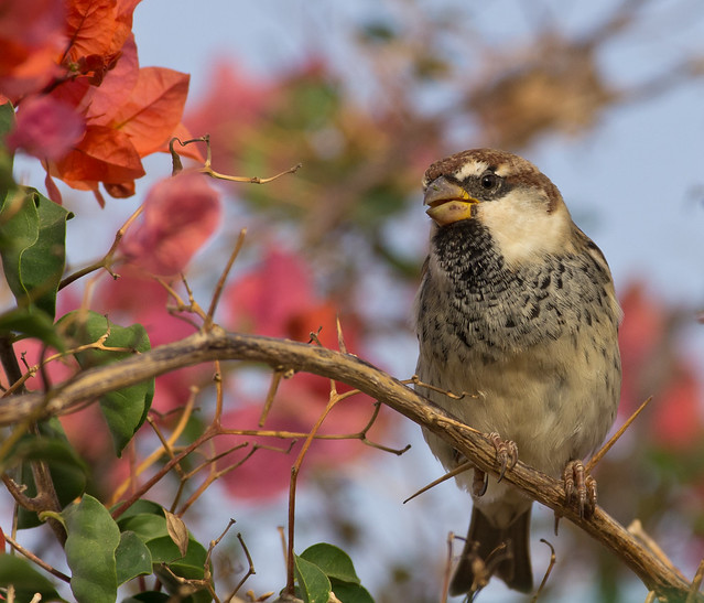 Spanish sparrow in flowers 8
