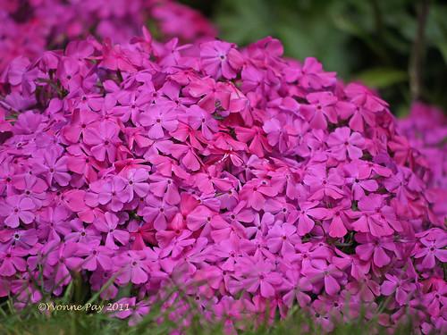 Pink Phlox by yvonnepay615