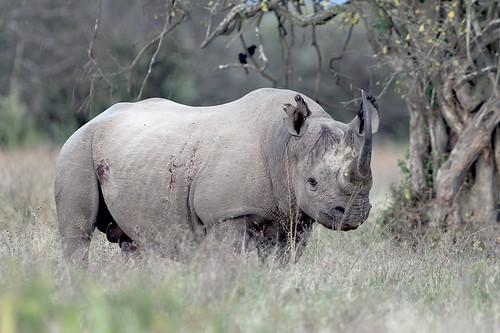 kenya blackrhino lakenakurunationalpark goldwildlife naturesgreenpeace allnaturesparadise amazingwildlifephotography bbng allofnatureswildlifelevel1 macswildpixels