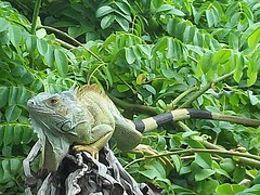 An Iguana on Johnny Cay