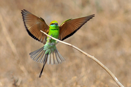 flied green bee eater