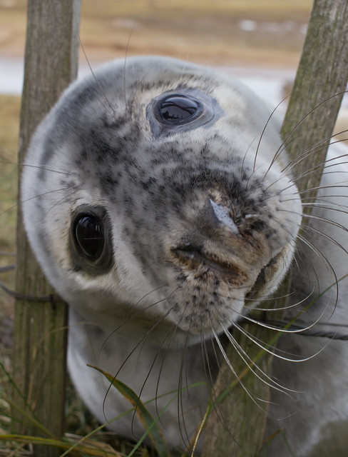 Seal pup at fence 4
