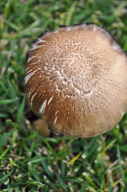 Mushroom big bro 1