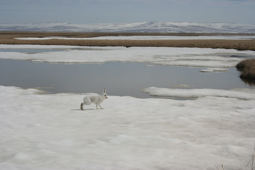 Tundra Hare on Frozen Pond