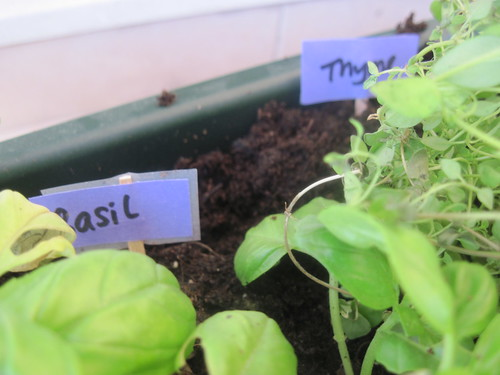 Basil Thyme