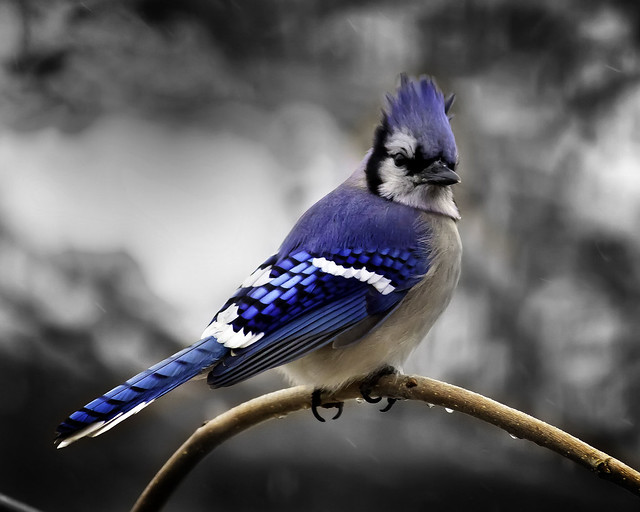 Mr. Blue Jay in Black and White.