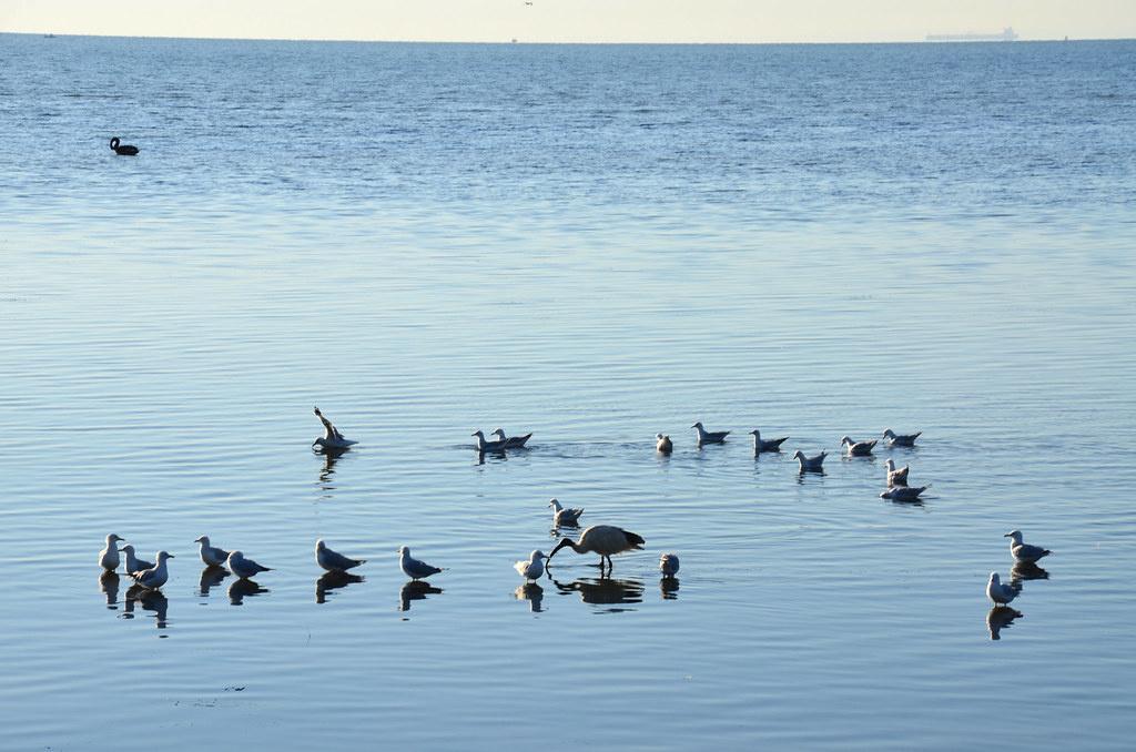 White Ibis & Seagulls 02