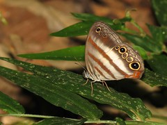 Two-banded Satyr