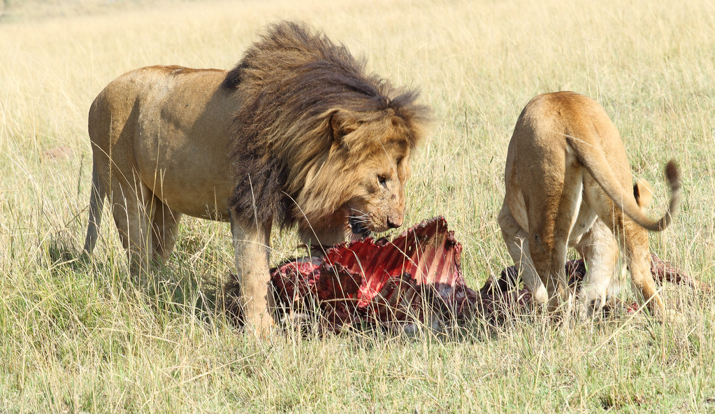 Lion and lioness at kill on the Masai Mara