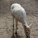 Small photo of Albino Deer
