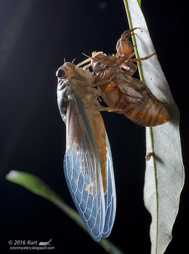 Cicada_MG_0193 copy