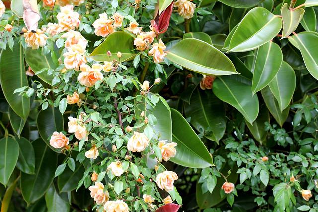 Crepuscule Roses
