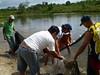 Projeto Ver-o-Peixe. Despesca Santa Ana_PA. Foto Dalva Mota
