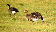 Greater White-fronted Goose, Duke Island Park, Bridgewater, 11-27-2011