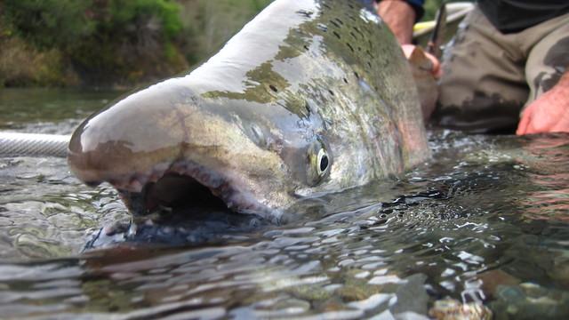 Late season salmon the caddis fly oregon fly fishing blog for Salmon fishing season oregon