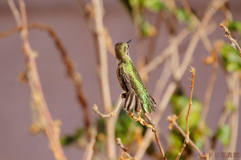 Anna's Hummingbird 112711-2