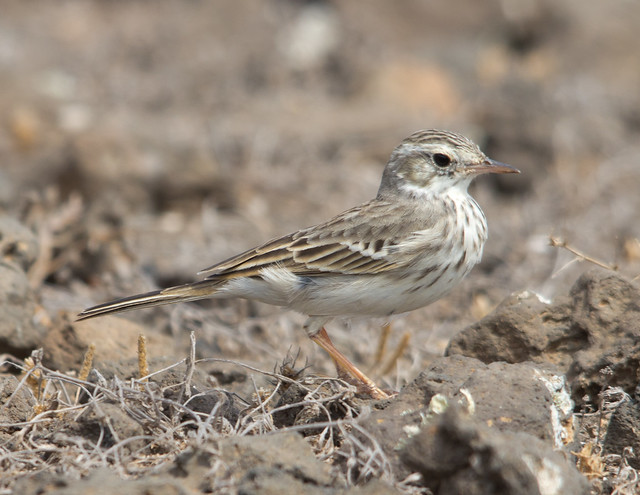 Berthelots pipit 3 - Costa Teguise