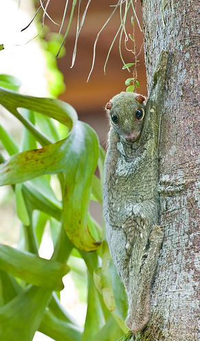 colugo or flying lemur IMG_8151 copy