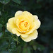 A Yellow Rose To Warm The Heart.....  XOXOXO!! by Michelle ~ Blacky ~ Champaz's Captures....