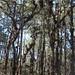Bosque de pino - encino con plantas epífitas y orquídeas - pine and deciduous forest with with epiphytes and orchids; camino entre Santiago Yosondúa y Santo Domingo Ixcatlán, Oaxaca, Mexico por Lon&Queta