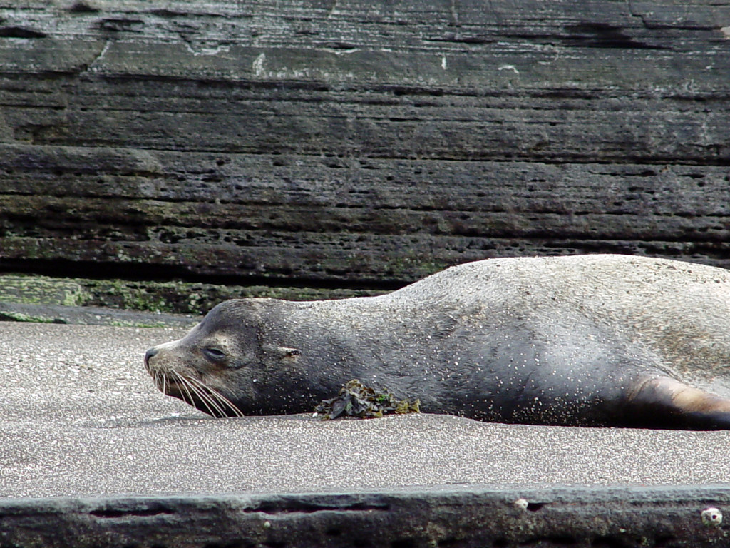 DSC00837 Galápagos sea lion