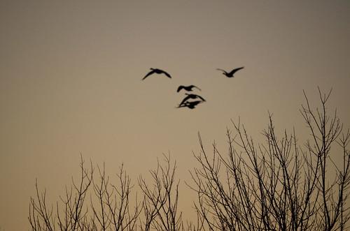 birds silhouette photography virginia geese photo photos va danvillevirginia danvilleva