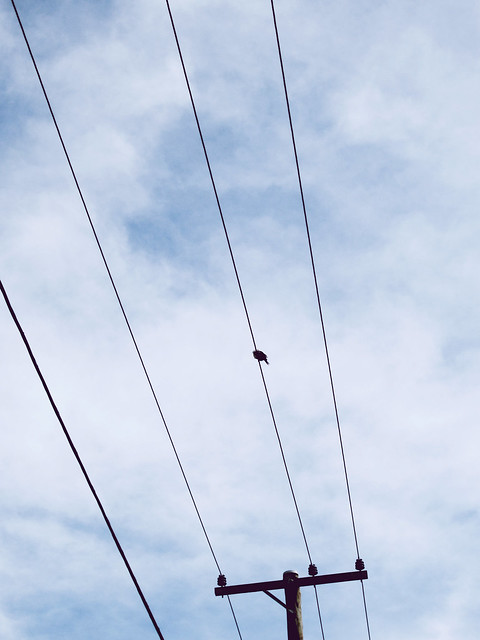 Kookaburra sitting on the electric wire