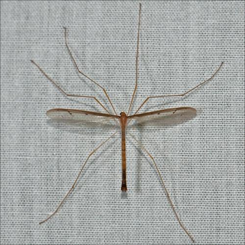 georgia fly crane albany dougherty cohutta ellijay pedicia roybrown inconstans roybrownphotography roycohutta