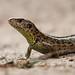 Sand lizard / Zandhagedis (Lacerta agilis) by BJSmit