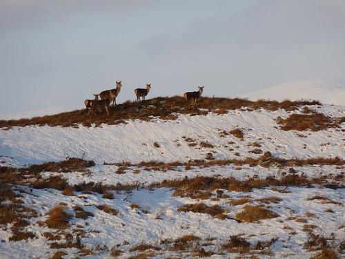 Scottish Deer in Winter