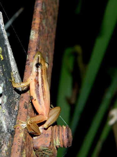 Ranita hocicuda rayada-Scinax squalirostris