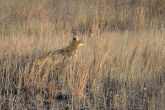 Coyote DSC_1609 by Mully410 * Images