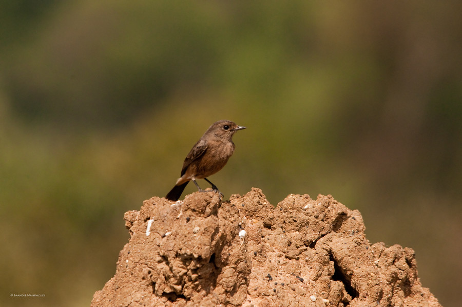 Pied Bushchat-Female
