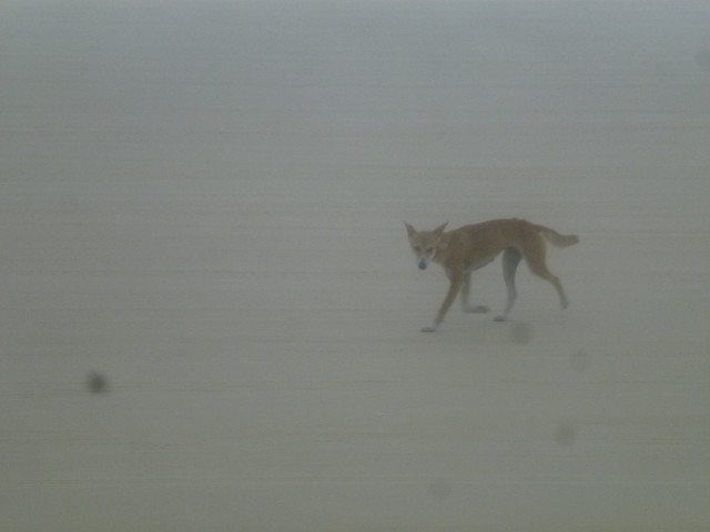 A dingo walking along the beach