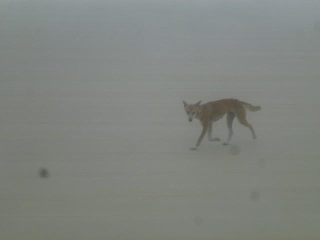 A dingo walking along the beach