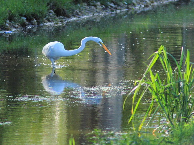 Great Egret 20111222