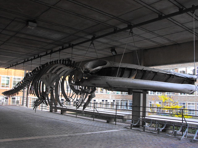 Fin whale skeleton - photo#18