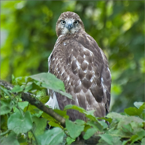georgia hawk albany redtailed dougherty cohutta ellijay roybrown roybrownphotography juvenileyoungredtailedhawk roycohutta