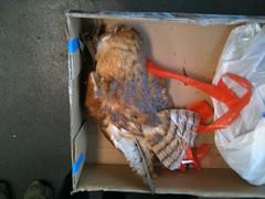 poor barn owl