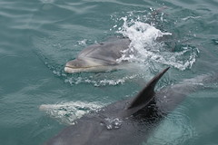 whale(0.0), grey whale(0.0), stenella(0.0), animal(1.0), marine mammal(1.0), common bottlenose dolphin(1.0), marine biology(1.0), short-beaked common dolphin(1.0), wind wave(1.0), dolphin(1.0), striped dolphin(1.0), rough-toothed dolphin(1.0),