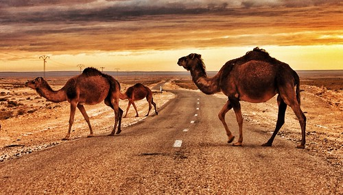 Beware camels crossing