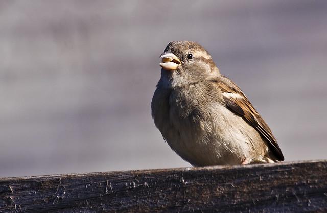 Sparrow seed