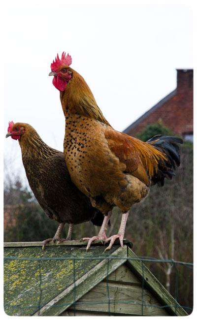 Belgian-Roosters