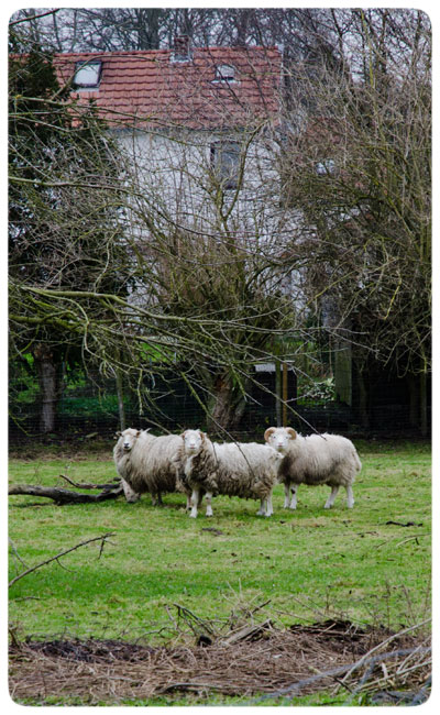 Wooly-Sheep-in-Belgium