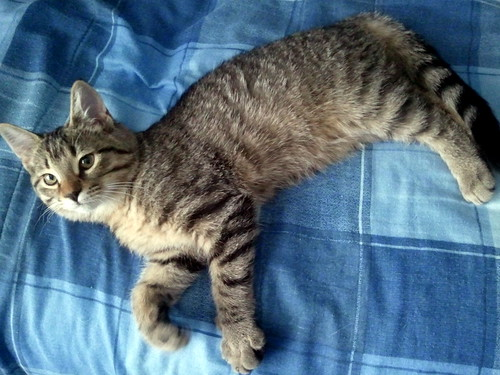 Sarah, our new tabby cat, lying on my comforter