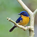 Hill Blue Flycatcher #3