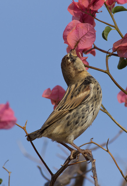 Spanish sparrow in flowers 2